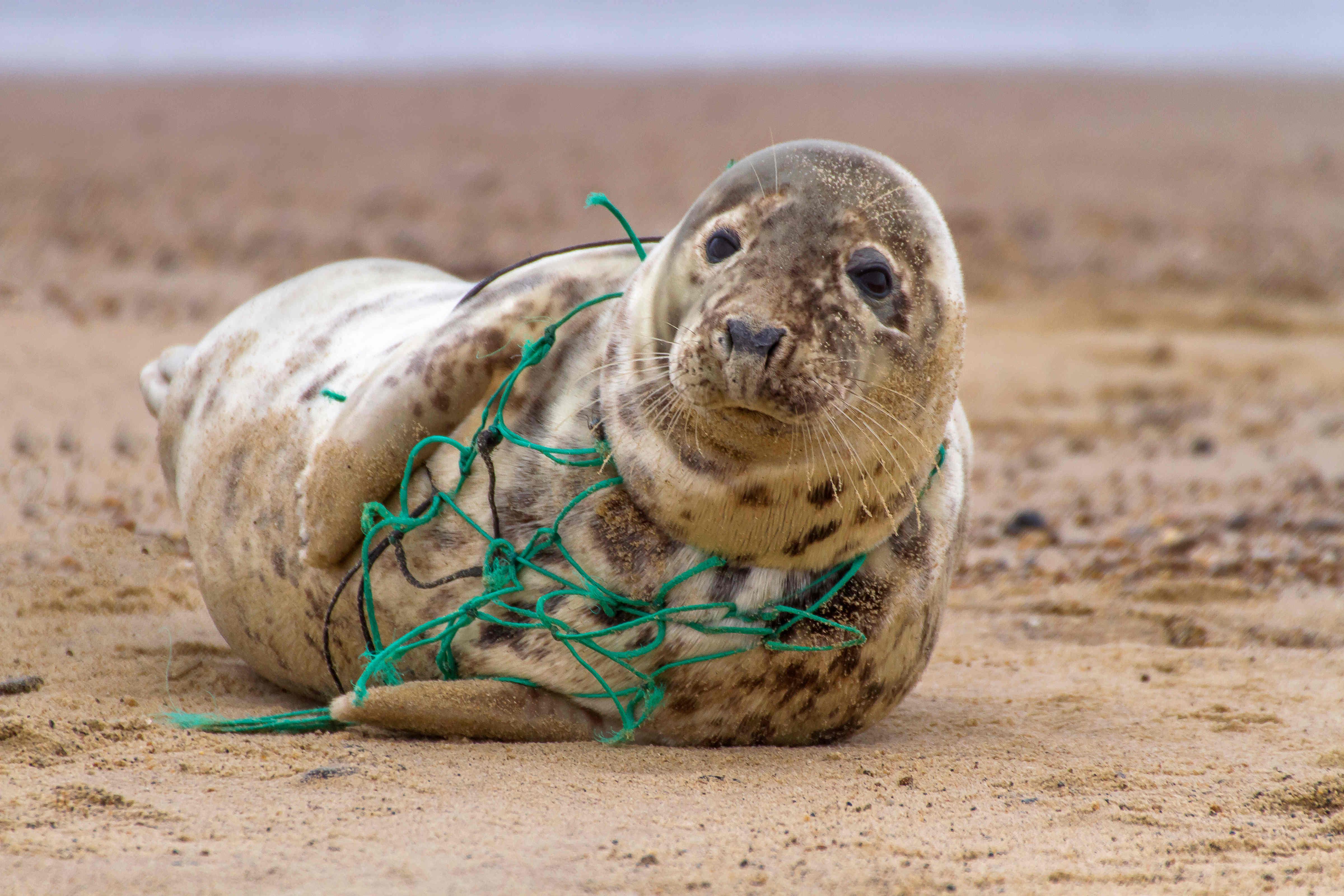 Eine Kegelrobbe hat sich in einem alten Fischernetz verfangen.
