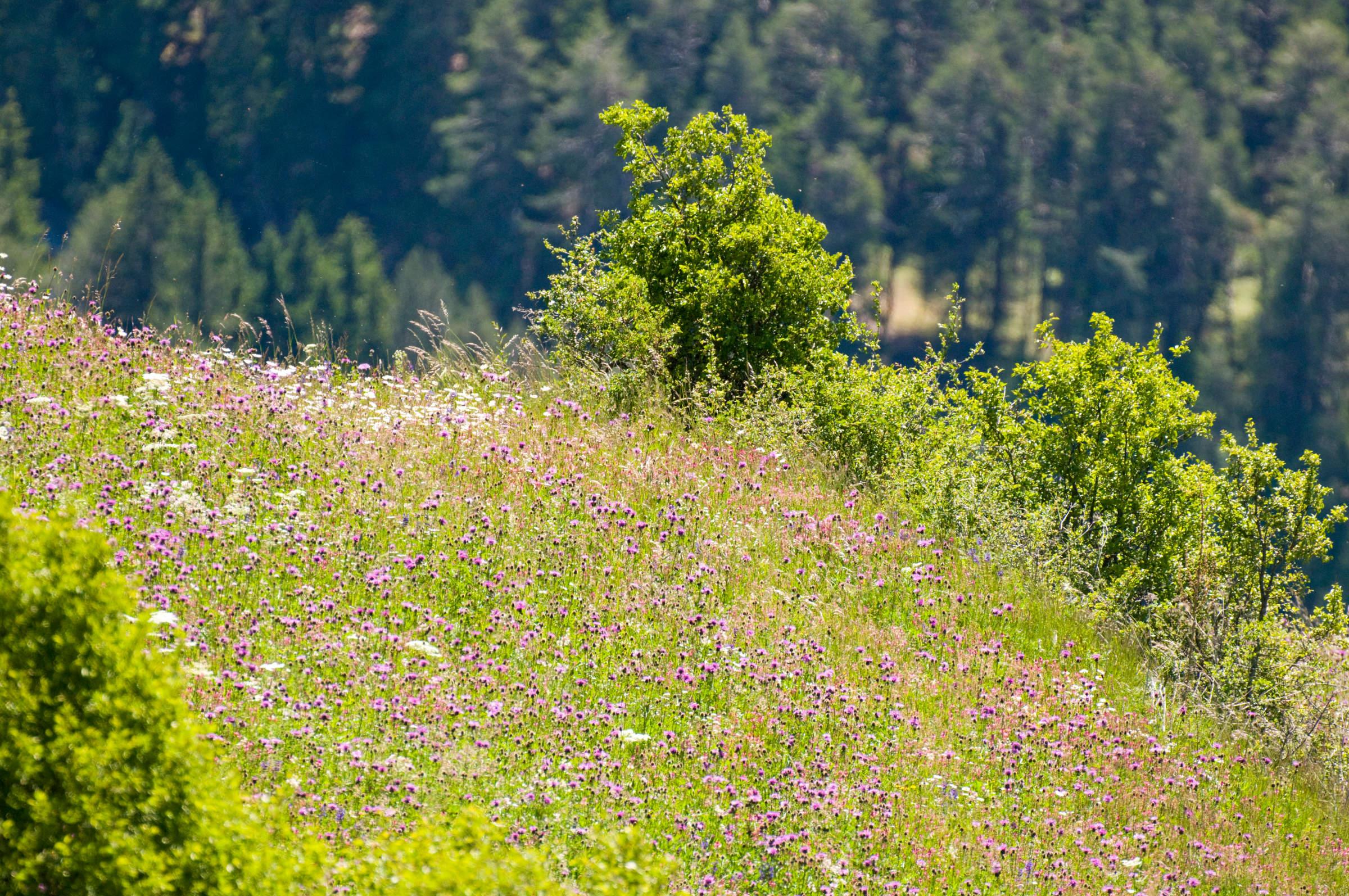 Une prairie fleurie au-dessus de Sent (GR).