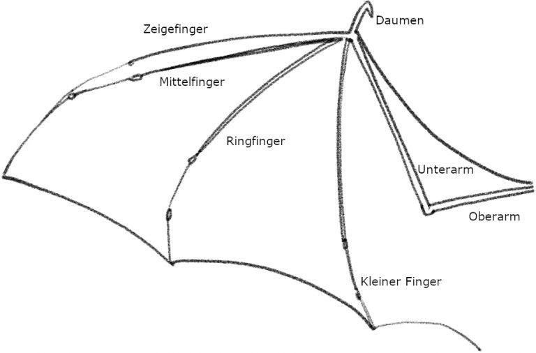 Structure d'une aile de chauve-souris