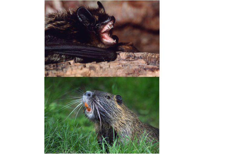 Confronto tra i denti di pipistrello e di castoro