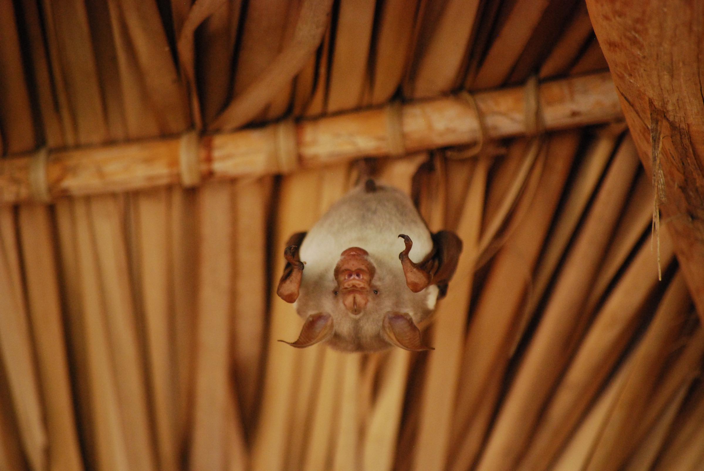 Fledermaus aus Madagaskar