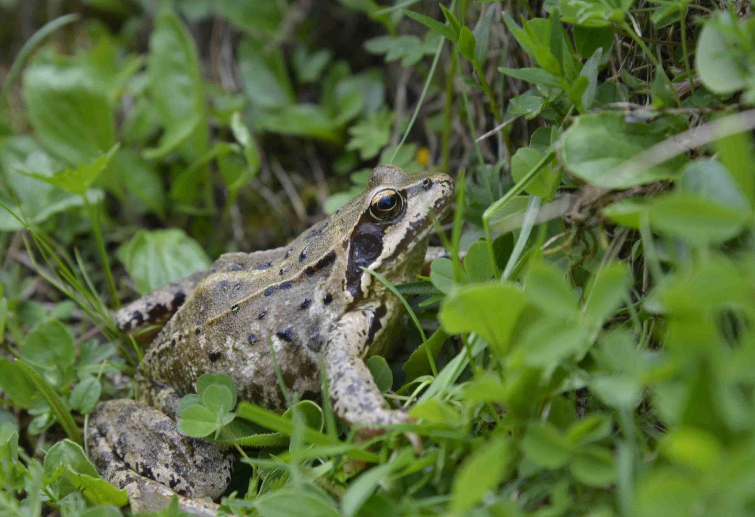 Une grenouille rousse