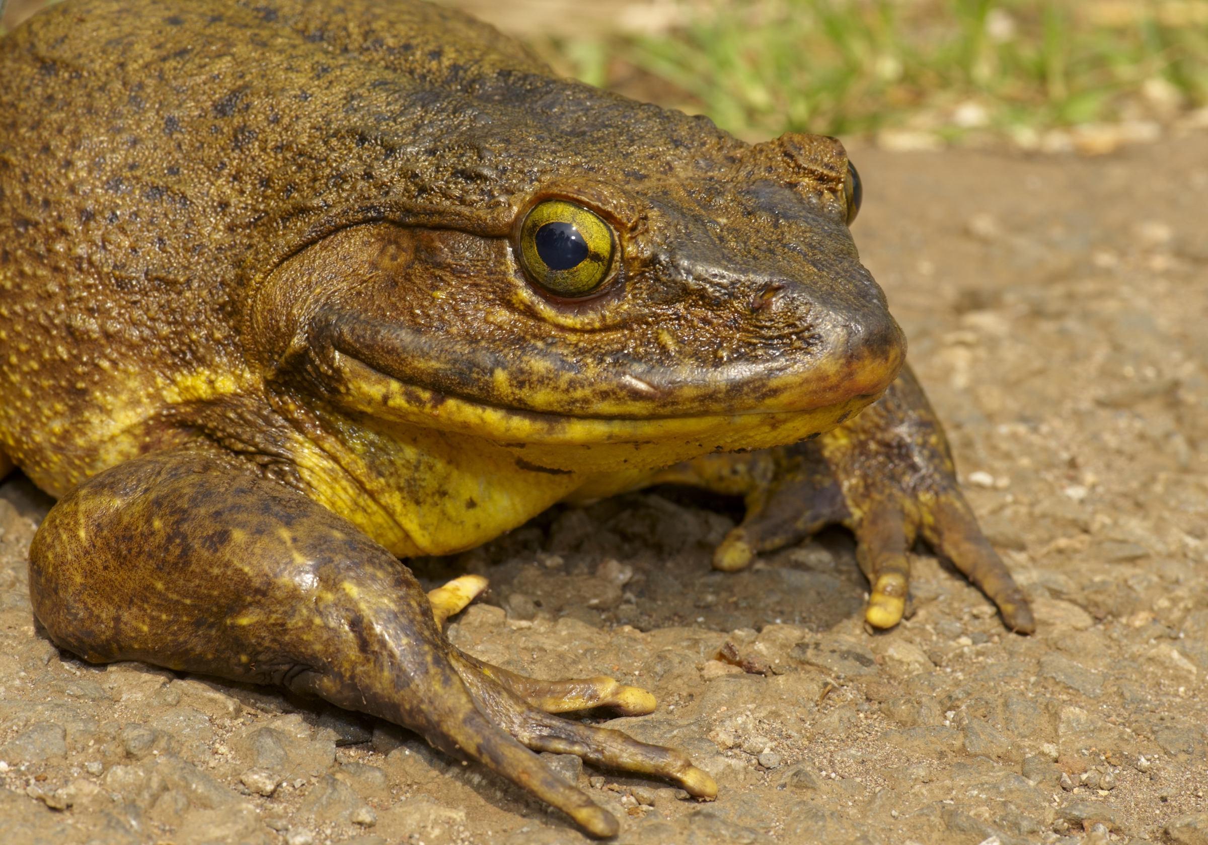Une grenouille géante ou grenouille goliath