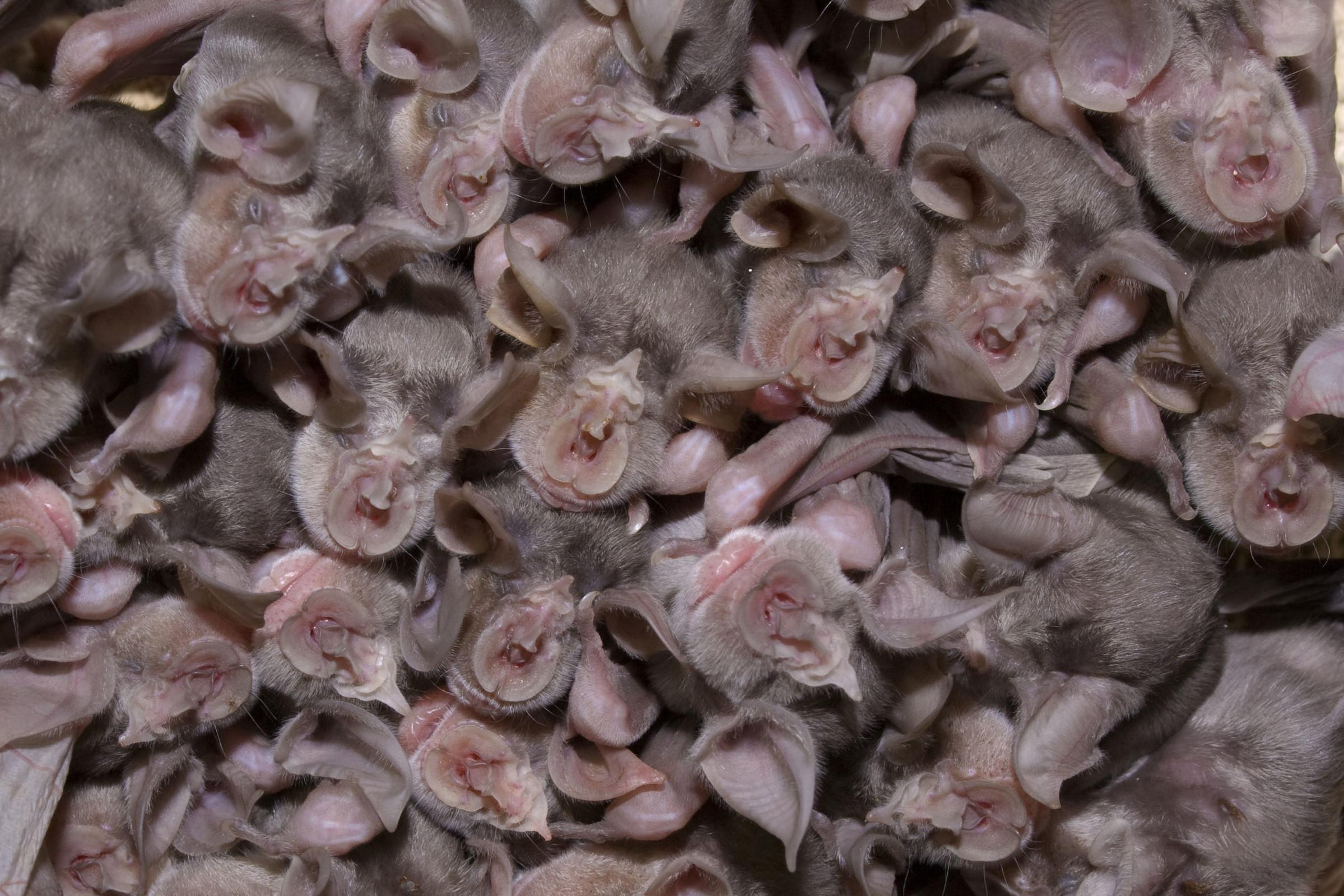 Colonie de chauves-souris Rhinolophe de Mehely