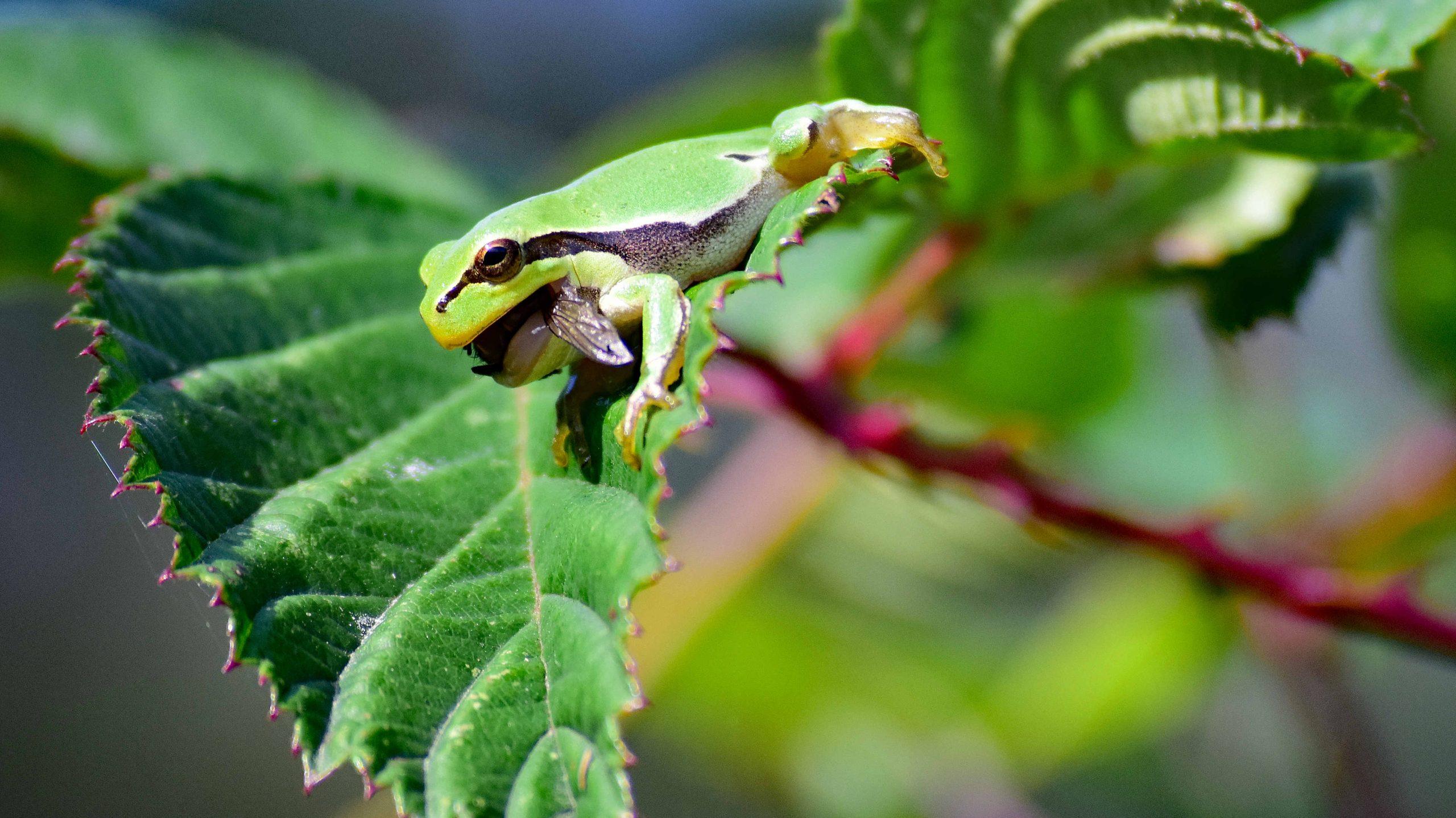 Laubfrosch mit Insekt