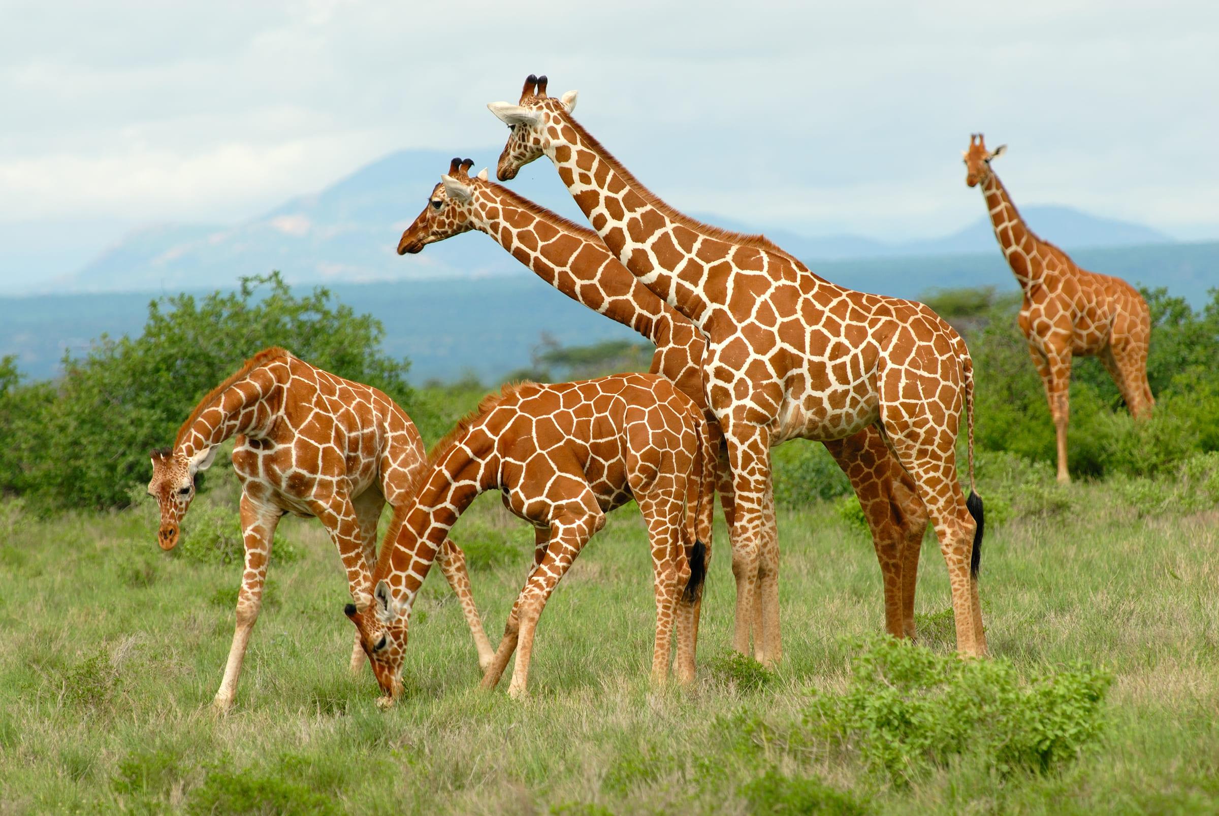 Un gruppo di giraffe reticolate