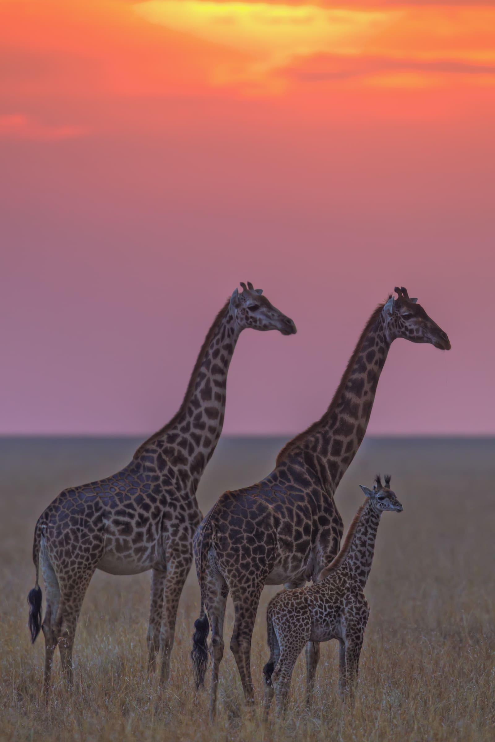 Masai Giraffen