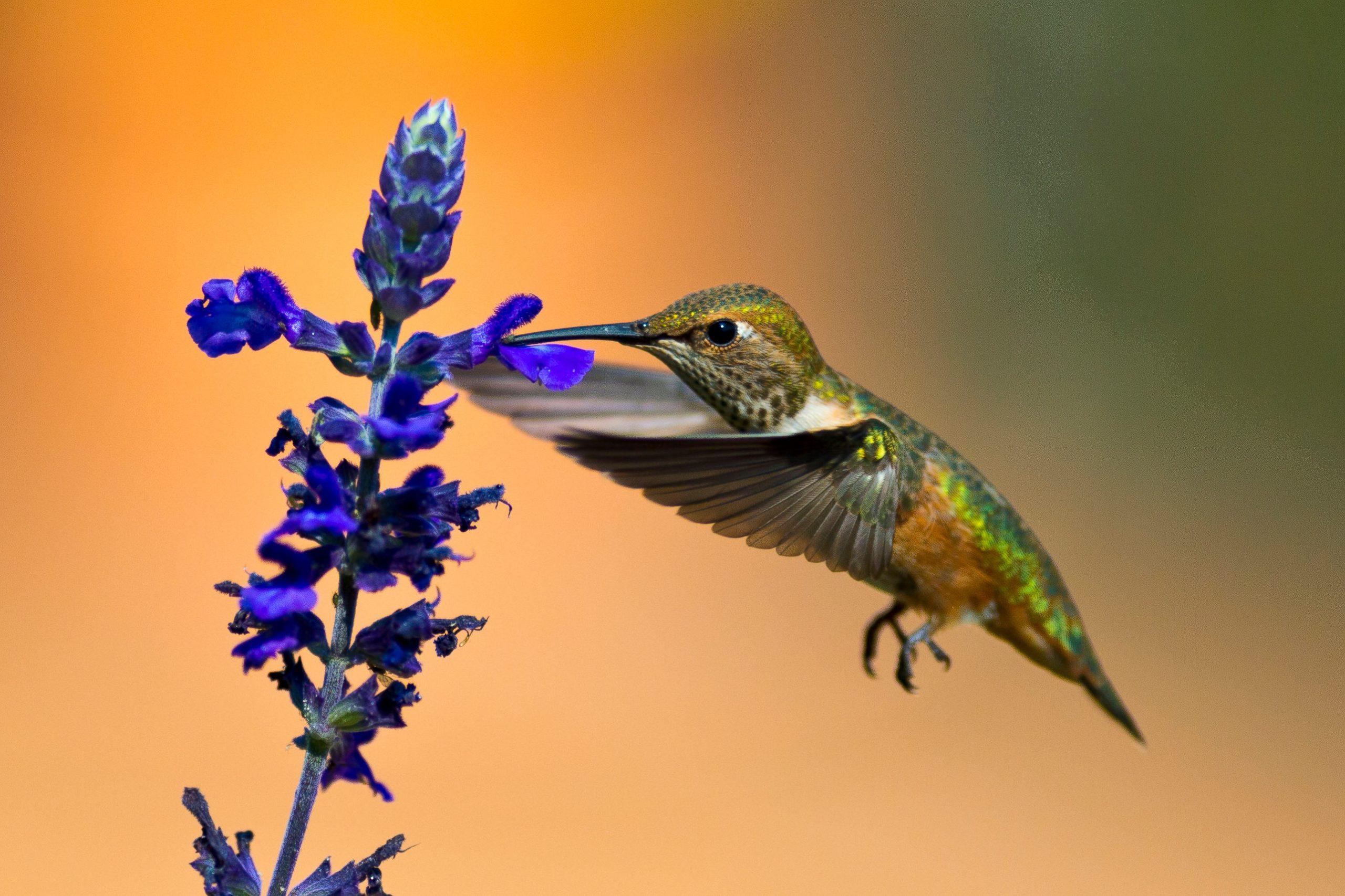Un colibri roux au Canada