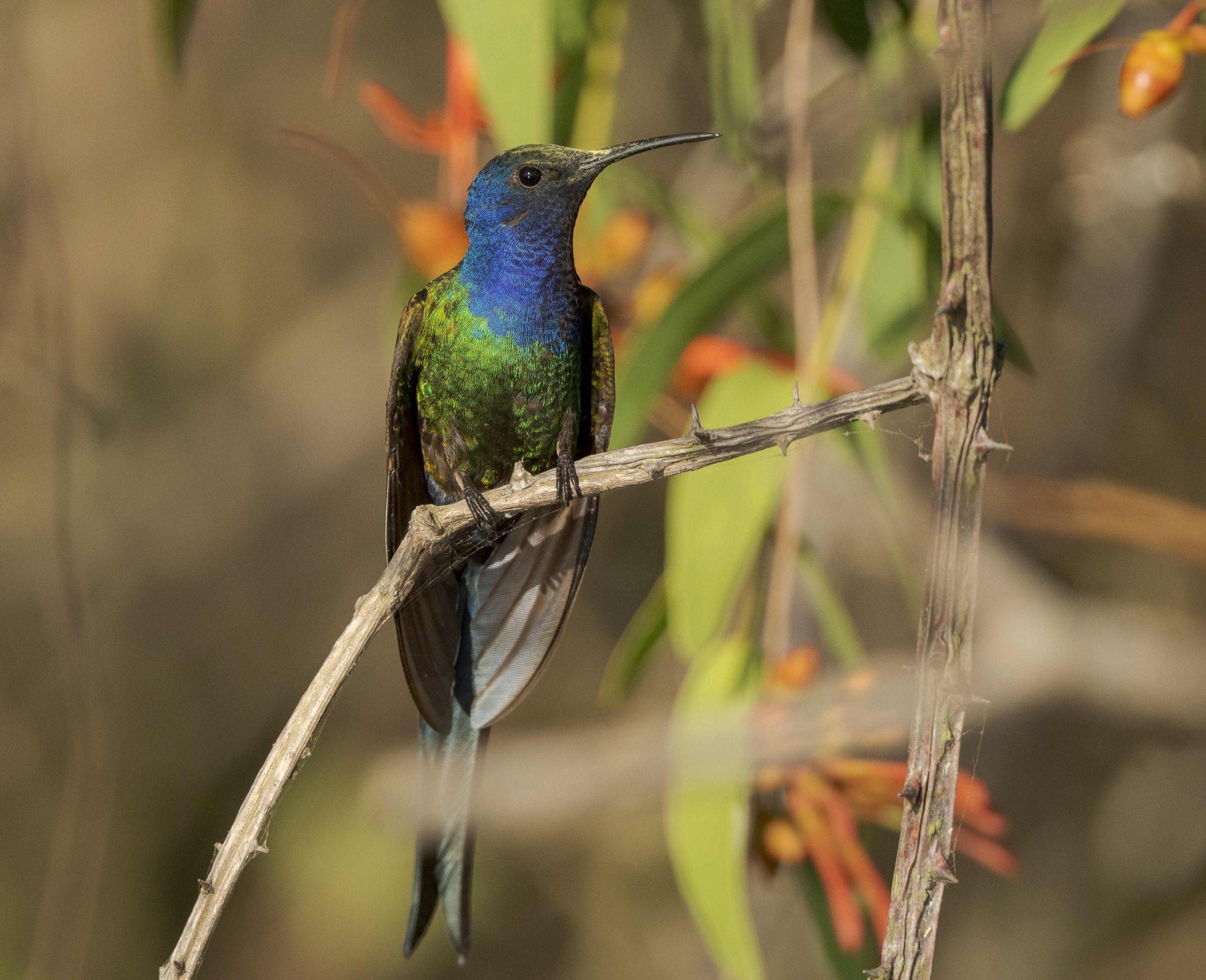 Colibrì coda di rondine in Paraguay