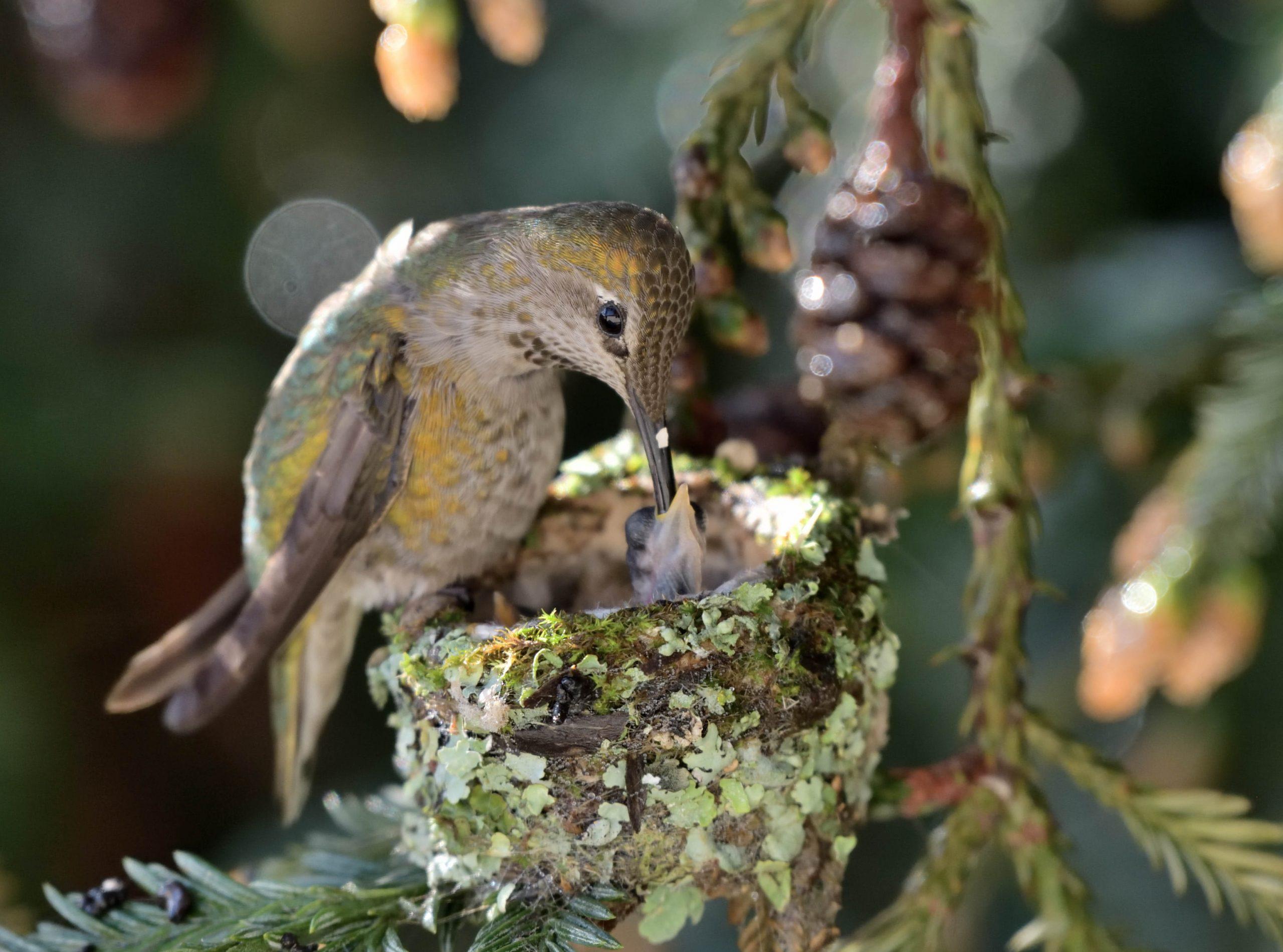 Un colibri d'Anna avec ses petits
