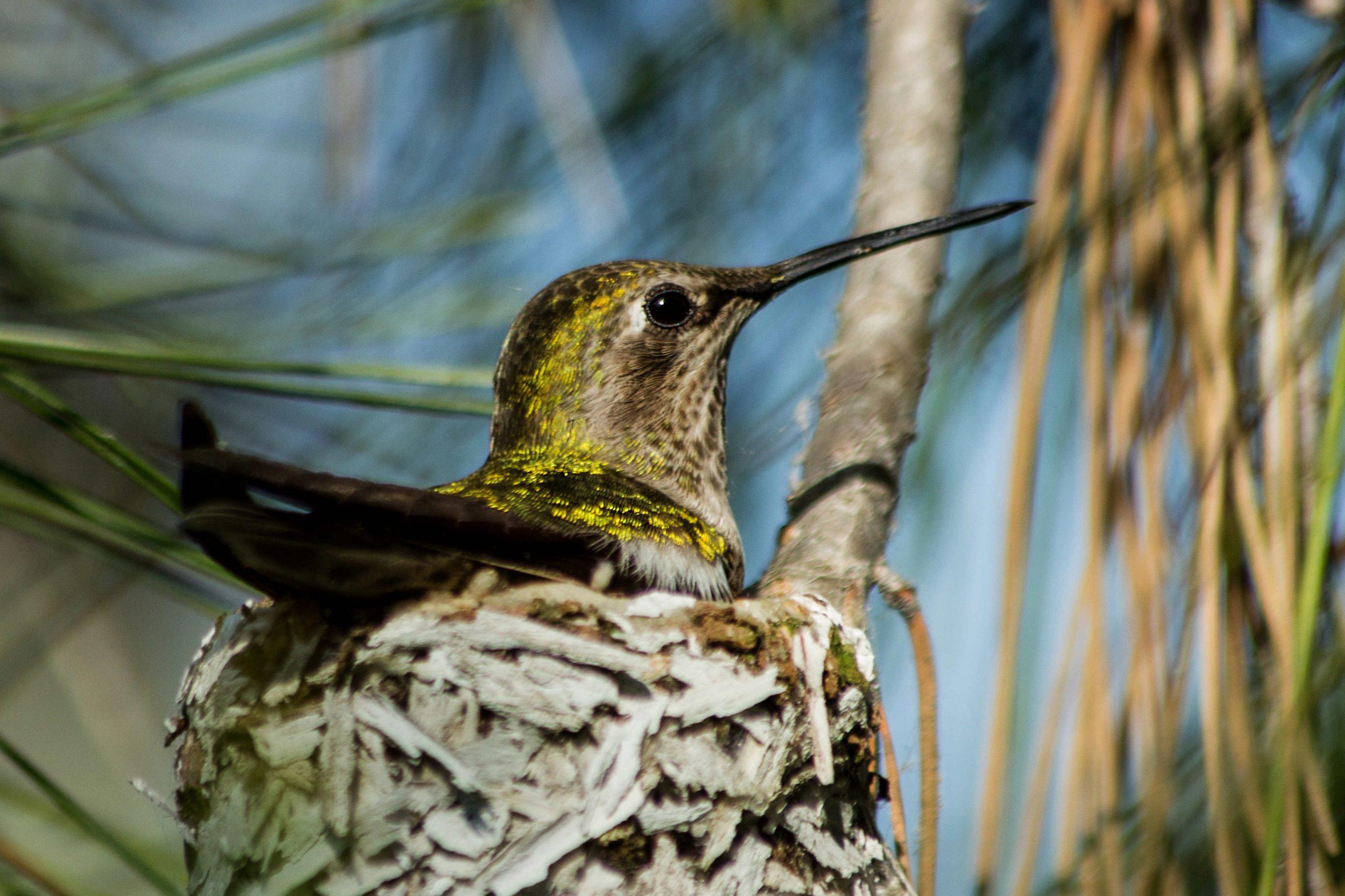 Colibrì nel nido