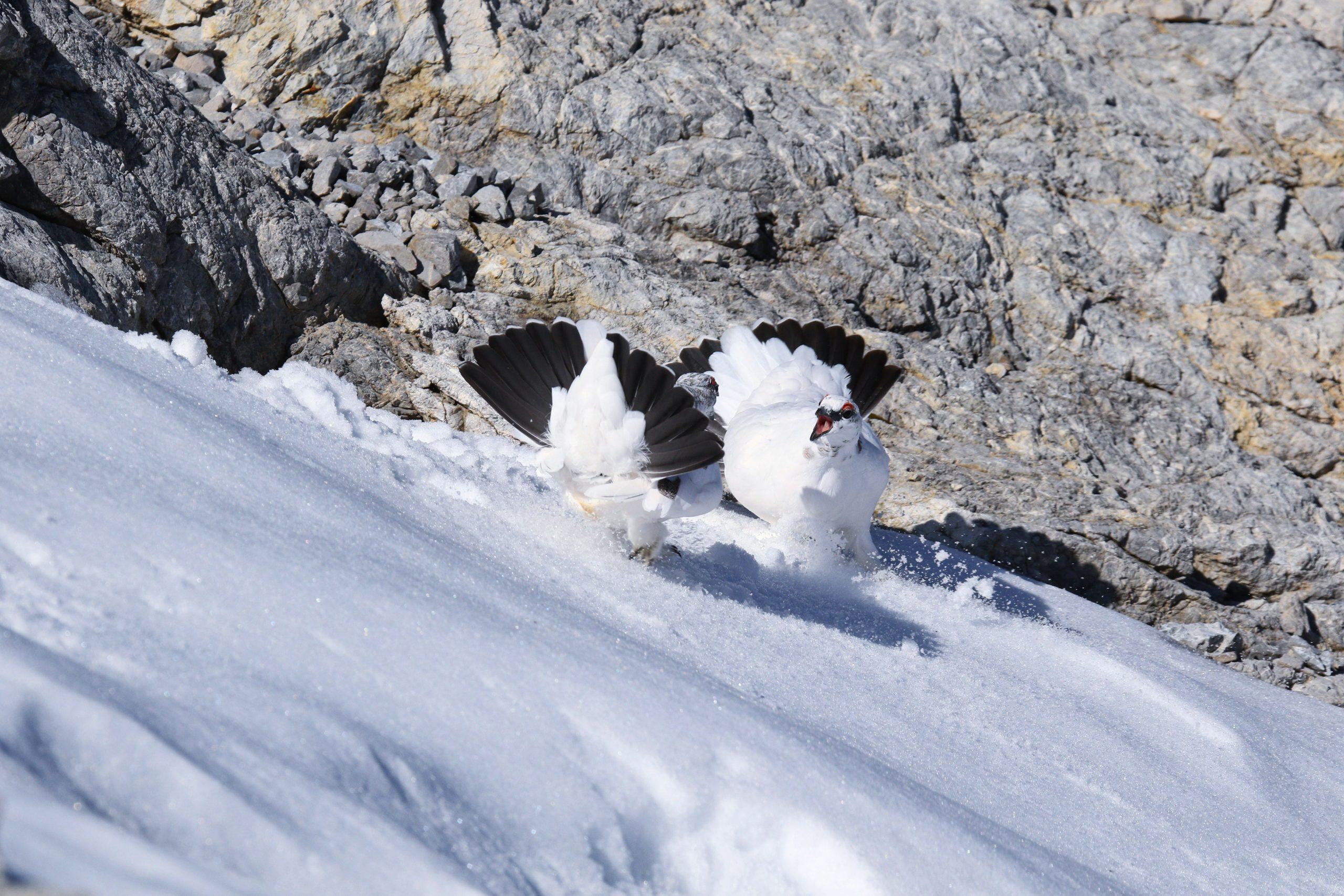 Alpenschneehühner
