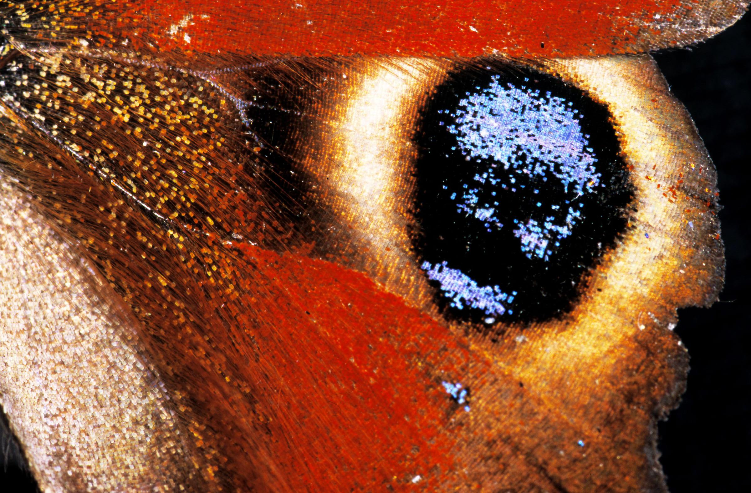 Flügel eines Tagpfauenauges