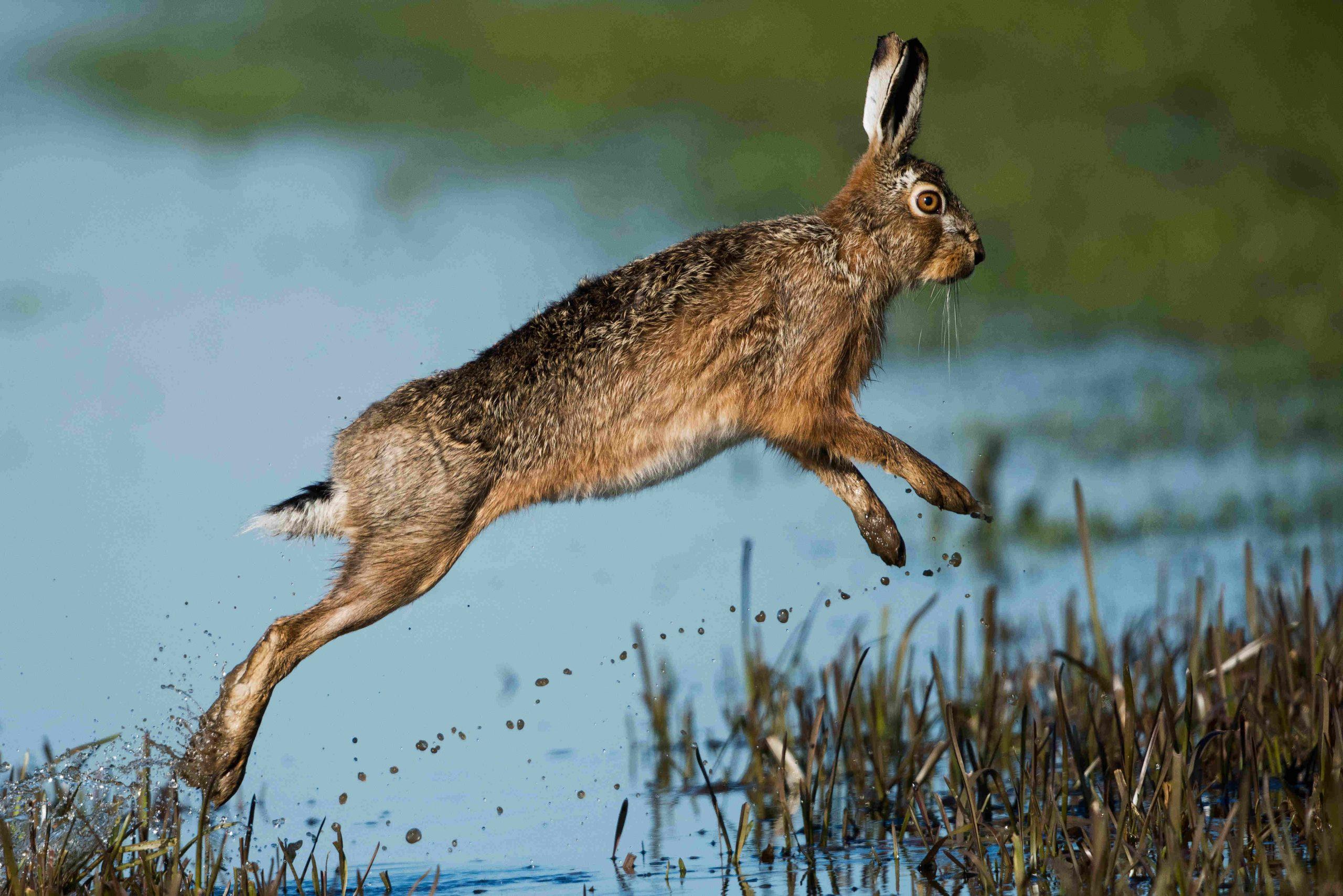 Springender Hase