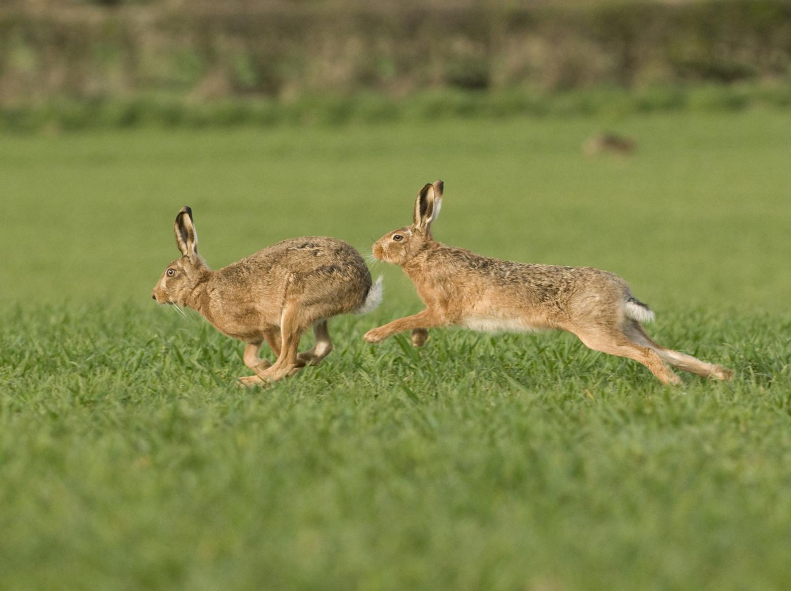 Deux lièvres bruns courant l'un après l'autre.