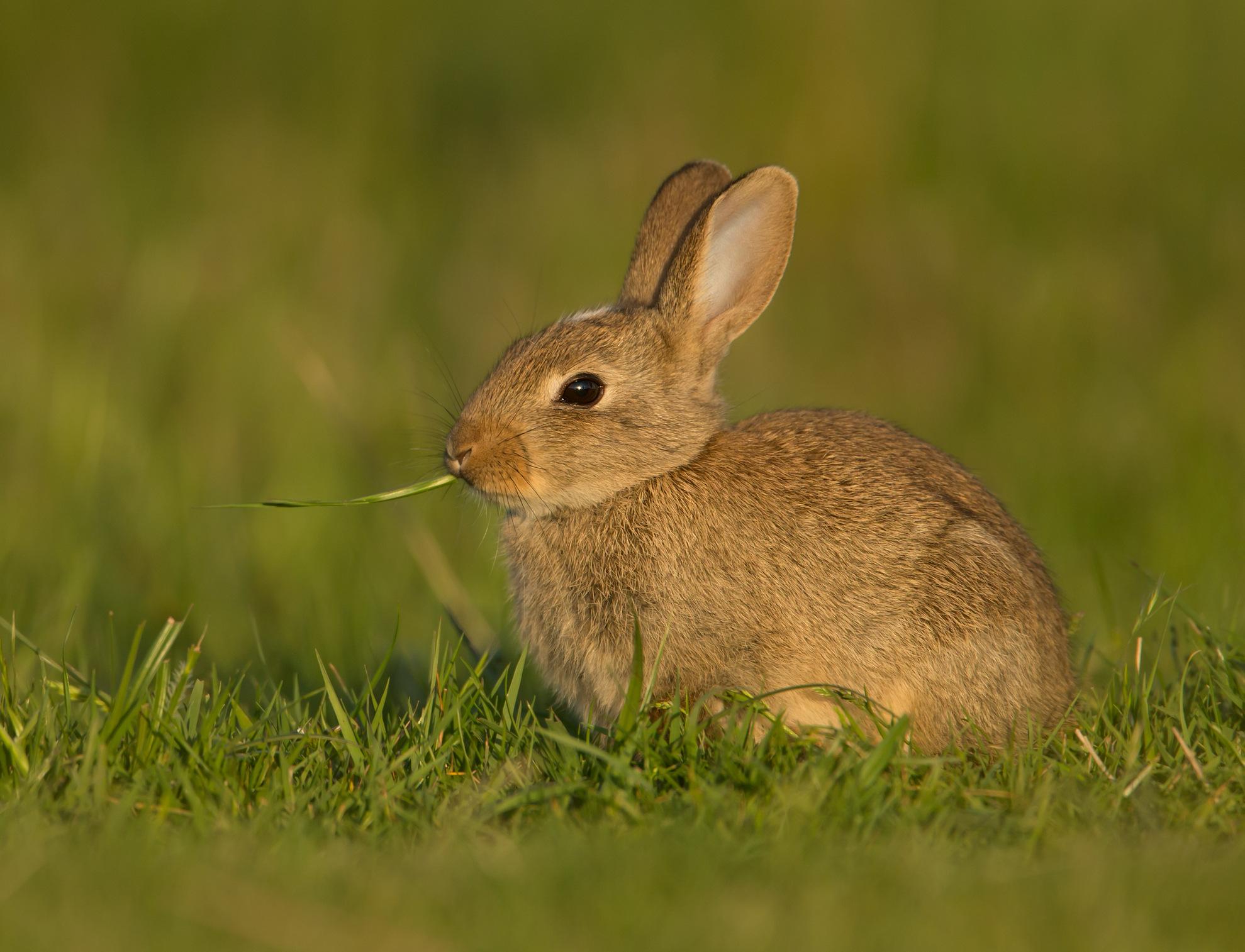 Un lapin commun, ou lapin de Garenne