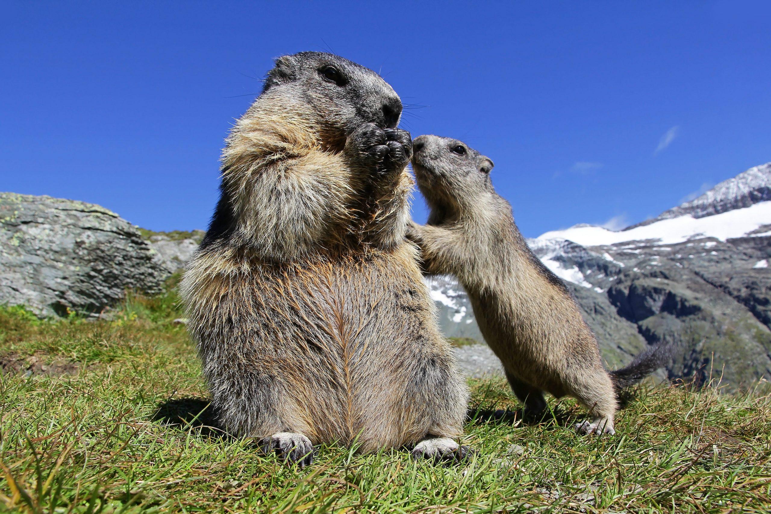 Alpenmurmeltier mit Jungtier