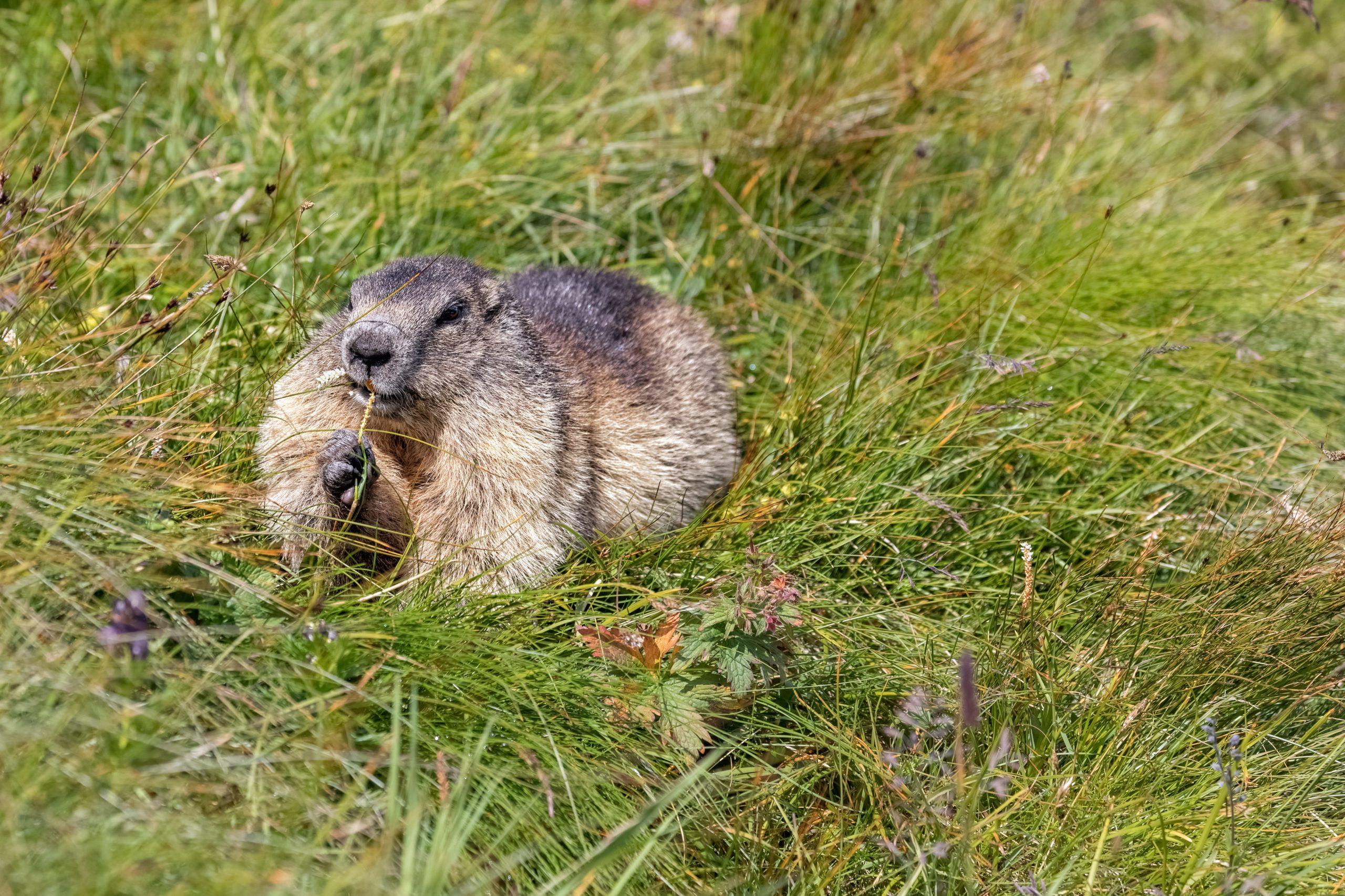 Alpenmurmeltier im Gras