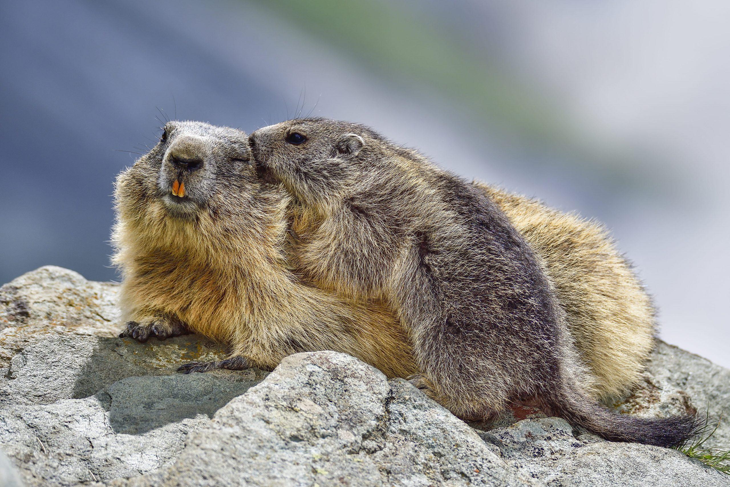 Alpenmurmeltiere bei der Fellpflege