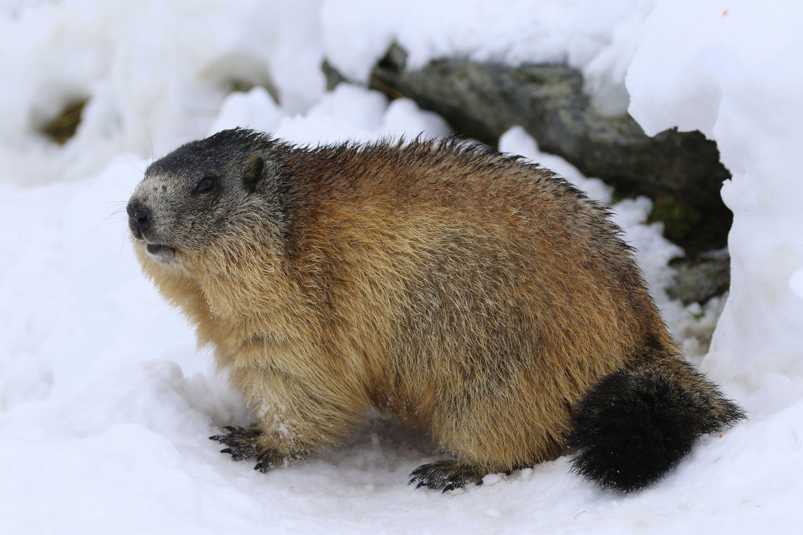Alpenmurmeltier im Schnee