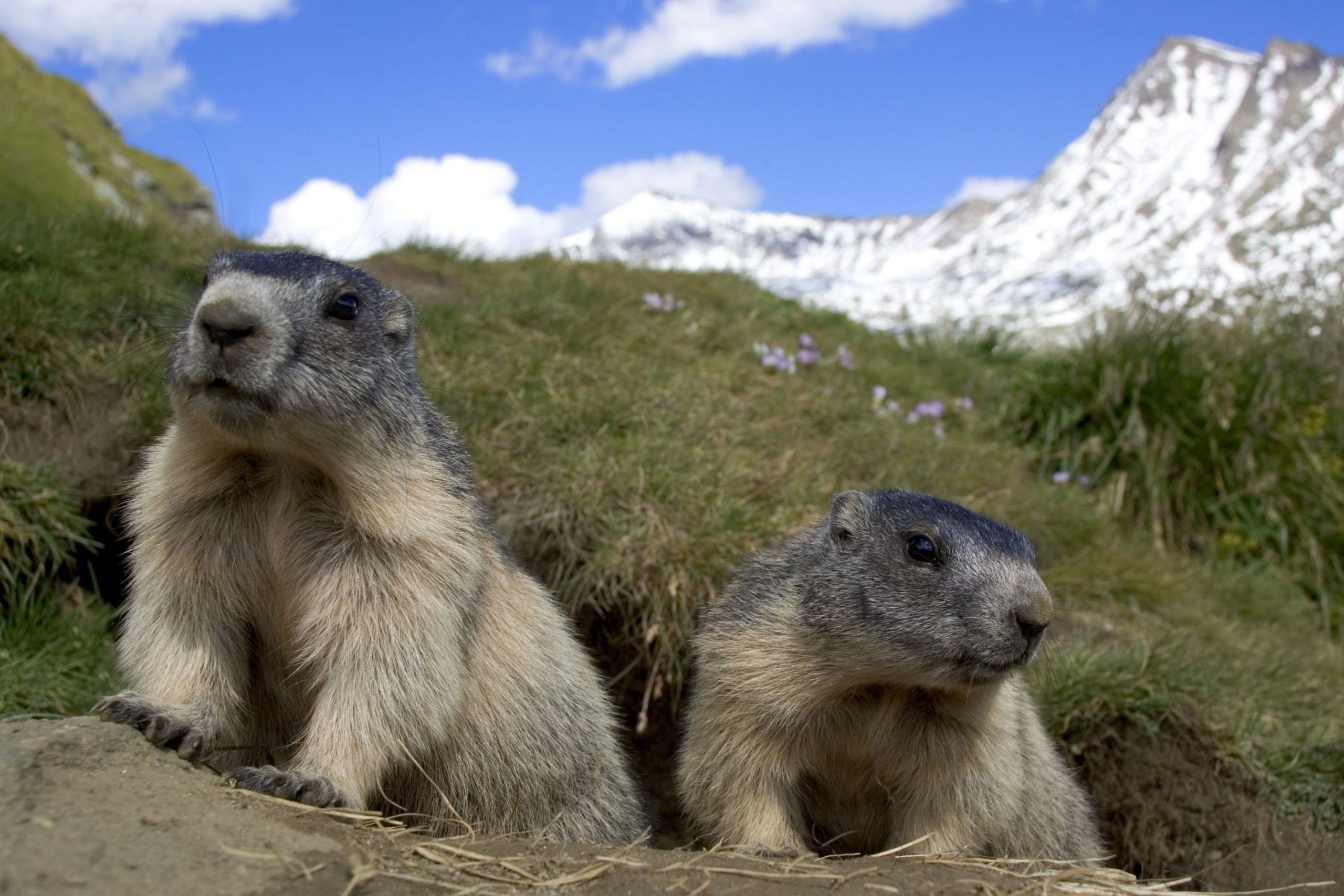 Alpenmurmeltiere