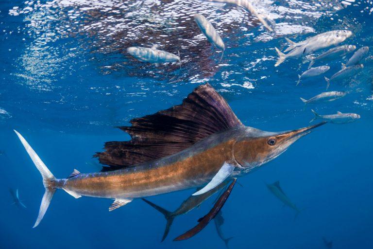 Atlantischer Fächerfisch
