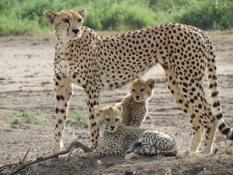 Gepard mit zwei Jungen