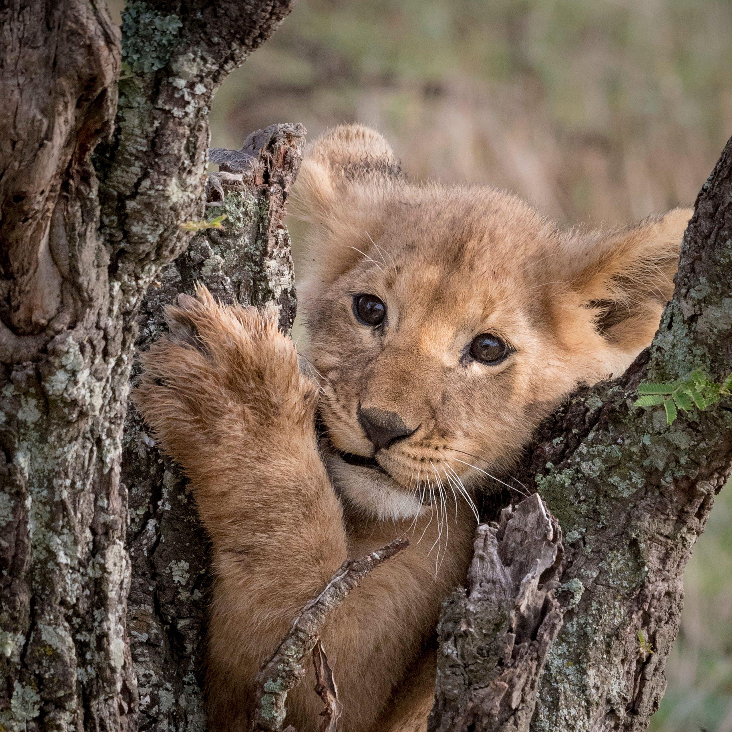 Löwenjunge im Baum