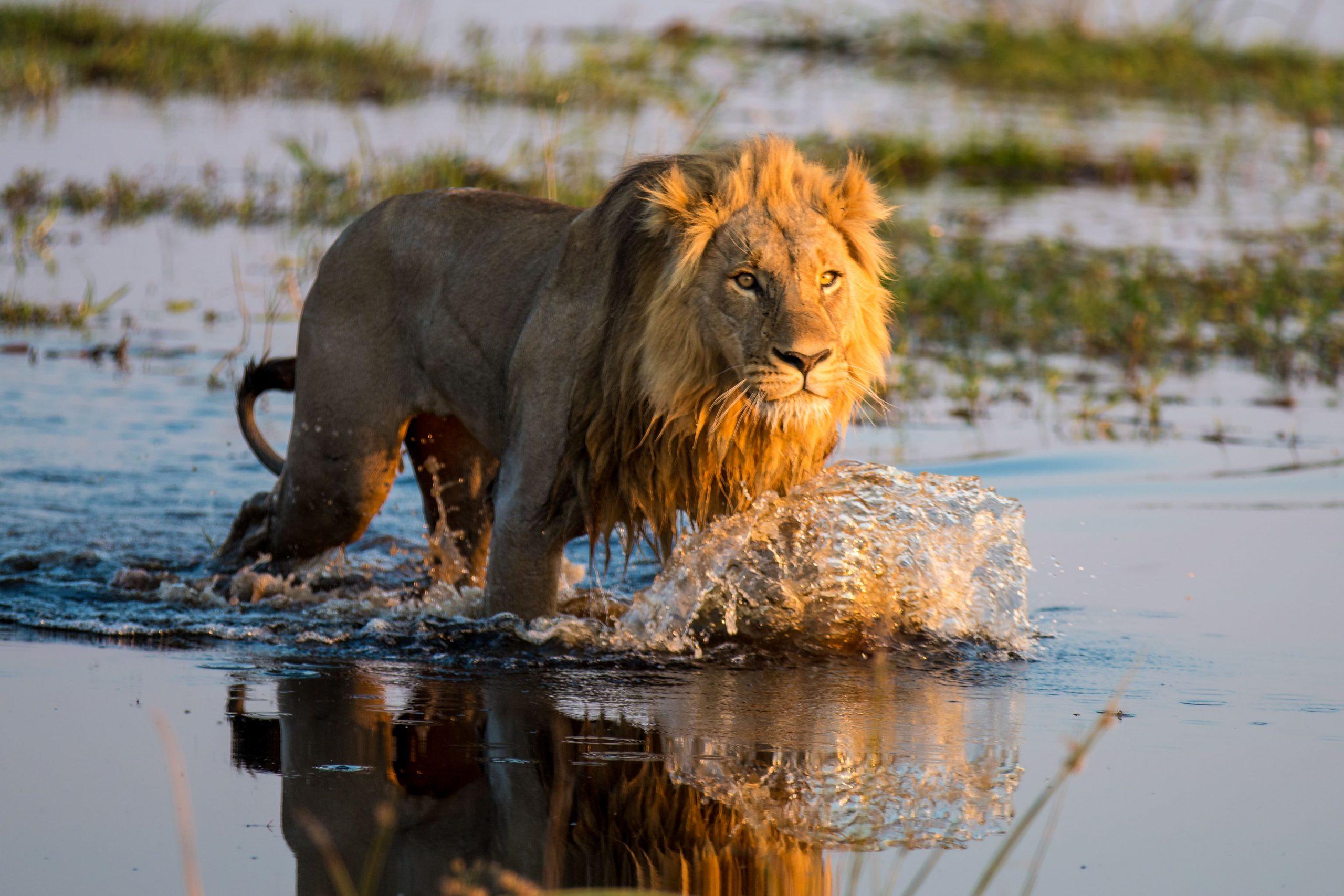 Löwe im Wasser