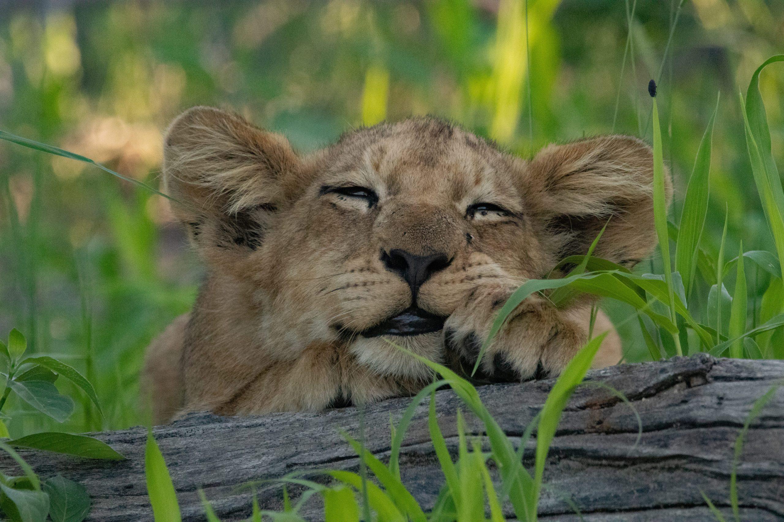 Schlafendes Löwenjunge