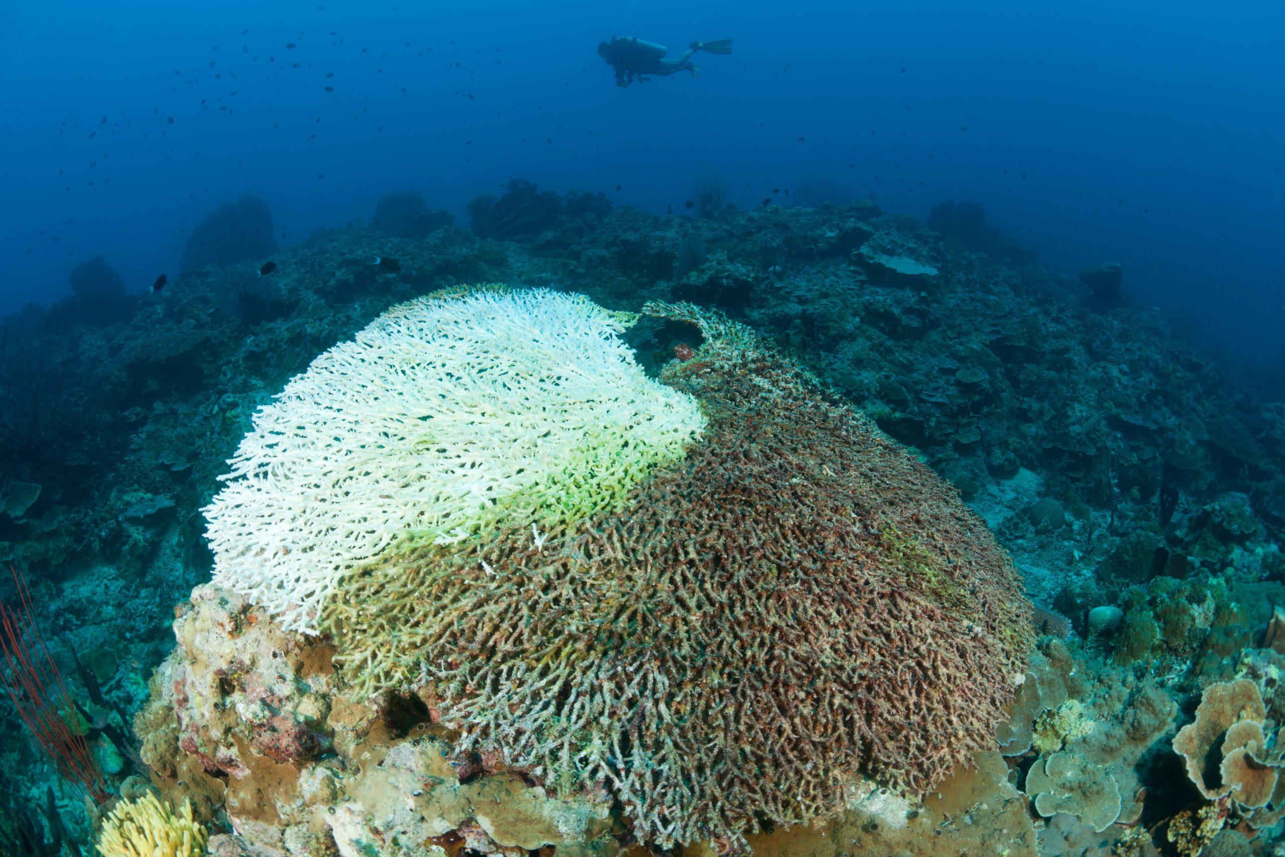 Teilweise ausgebleichte Koralle