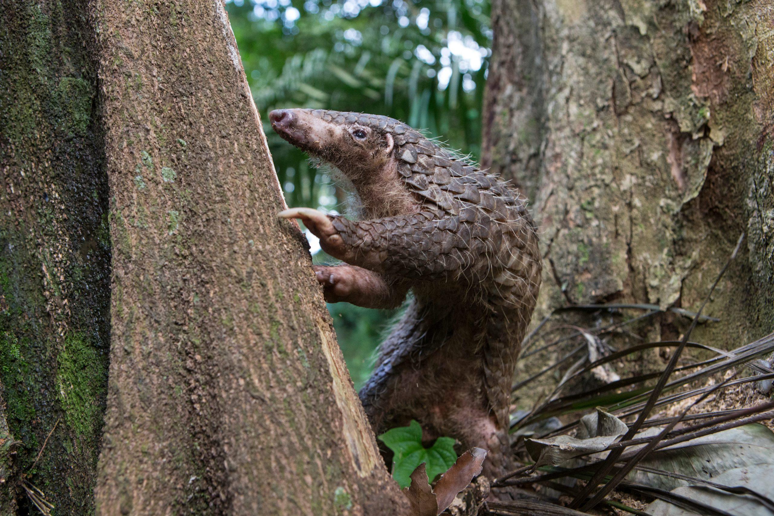 Malaiisches Schuppentier