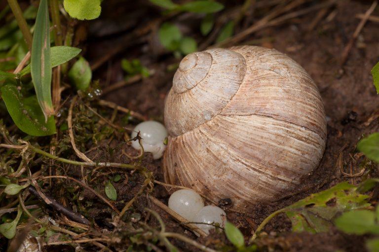 Weinbergschnecke bei der Eiablage