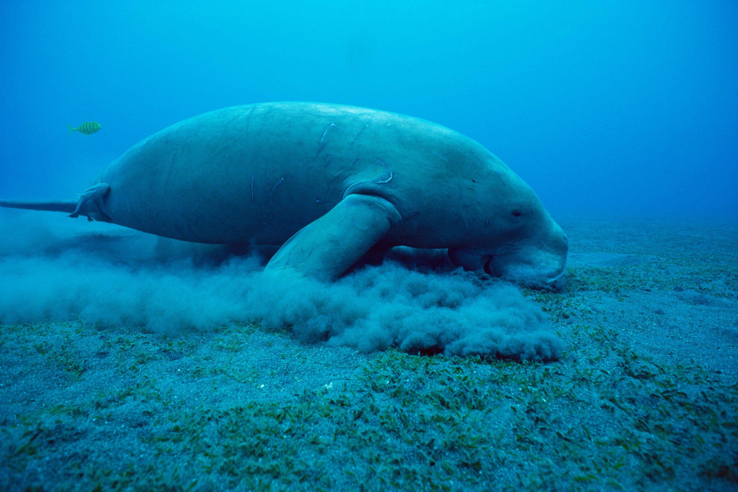 Dugong frisst Seegras