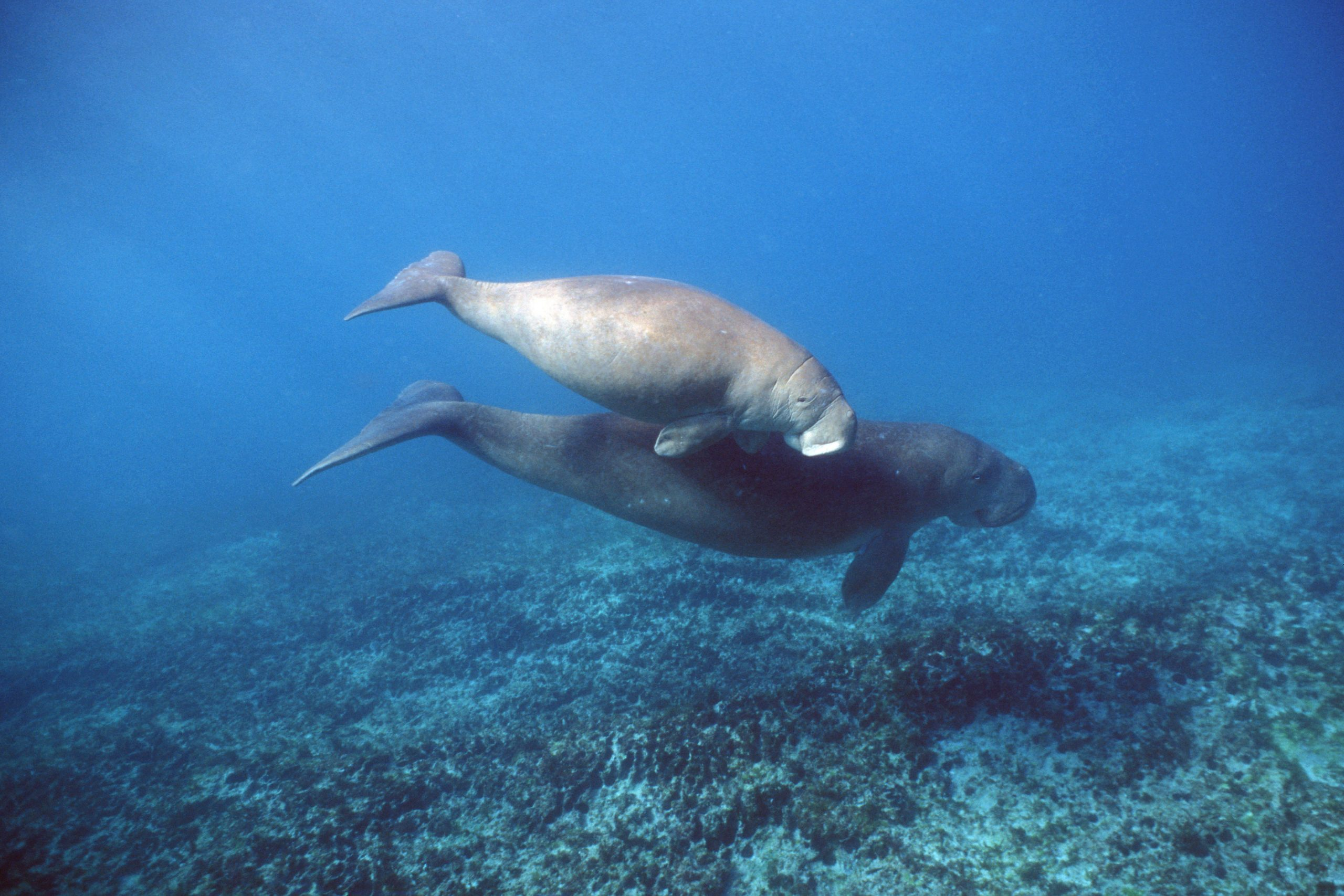 Dugong mit Jungem
