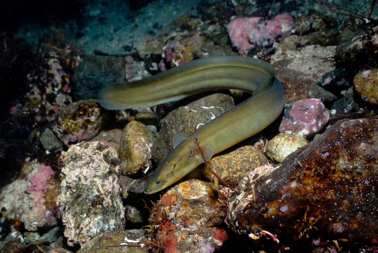 Europäischer Aal (Anguilla anguilla)